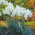 Qenci Seeds - Pampas Grass Seeds Rare Ornamental Grasses Ornamental Seeds