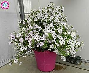 100 PC / bolso doble pétalos de petunia semillas semillas de flores bonsái altura Corto flores del jardín semillas de plantas de interior o ourdoor pot 2