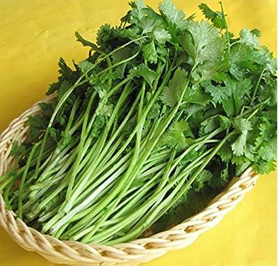 Mr.seeds Original pack coriander seeds seasons parsley seeds organic coriander seeds, balcony vegetables - 160 pcs