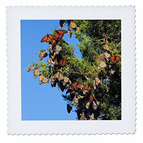 3dRose Danita Delimont - Butterflies - Monarch Butterflies roosting in Eastern Red Cedar, Illinois - 25x25 inch quilt square (qs_259333_10)