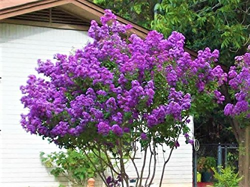 Catawba Purple Crape Myrtle Tree - Live Plant - Trade Gallon Pot