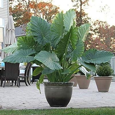 2 Jumbo Elephant Ear Bulbs, Giant Upright (Alocasia Odora) Exotic & Tropical, siz 9-11 : Garden & Outdoor