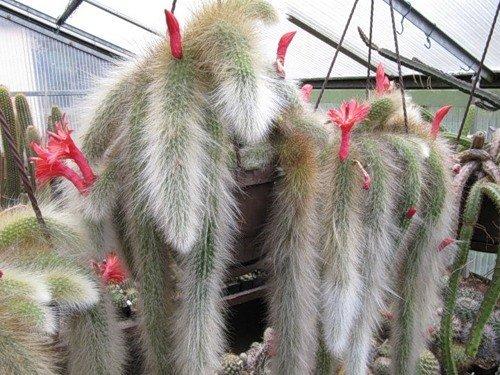 Portal Cool Hildewintera Cleistocactus Colademononis Monkey's Tail Cactus Bonsai 20 Seeds