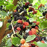 Chinese Mulberry Seeds Traditional Herbal Medicine Sang Shen Sementes Fructus Mori