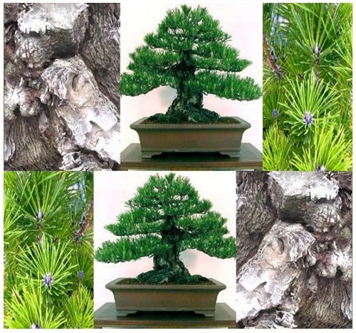 4 Packs x 10 MIKAWA Black Pine Tree Seeds Japanese Bonsai Pinus thunbergii Mikawa DEEP FISSURES BARK - Zones 4 - 9 - By MySeeds.Co