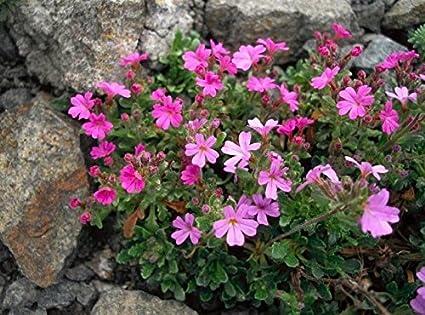 Amazon.com: Flor alpinosa de 25 semillas, bálsamo alpino ...