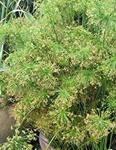 Cyperus Haspen Viviparus Isoclades (1 Tray ( 72 – 2 inch plants))