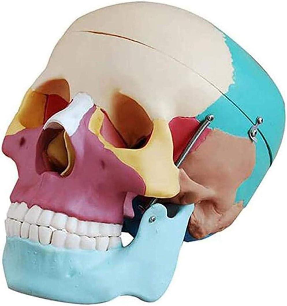 Xuhra Schädel Für Anatomie Life Size Replica Resin Medical Anatomische Tracing Medizinische Lehre Skelett Halloween Dekoration Amazon De Küche Haushalt