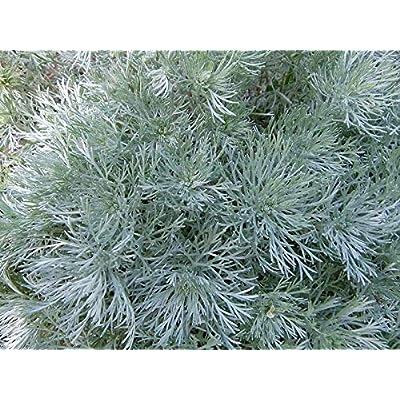 AchmadAnam - Live Perennial Plant - 18 Artemisia 'Silver Mound'' '- aka Wormwood -Zone 3 to 8 : Garden & Outdoor