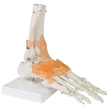 Fuß Fußmodell Anatomie Modell Fußgelenk Anatomisches Menschliches ...