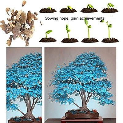 100% vrai japonais bleu Maple Bonsaï Graines, 10 graines / Pack, Acer palmatum atropurpureum, Bonsai SOW TOUTE L'ANNEE