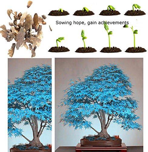 Bonsai 20 Seeds Real Japanese Ghost Blue Maple Tree Bonsai Seeds Pack Acer Palma Jpn8 Peaktraining Com Au