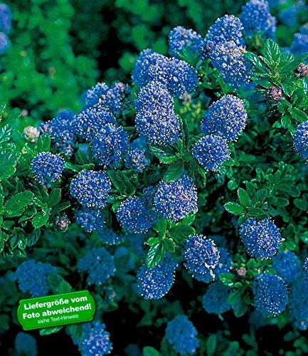 BALDUR-Garten Immergrüne Säckelblume Blauer Ceanothus 'Blue Mound', 1 Pflanze
