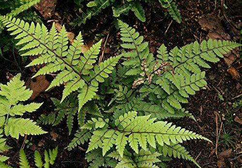 Athyrium otophorum Okanum hardy garden fern 9cm pot FREE POSTAGE
