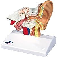 3B Scientific E12 Modelo de Anatomía Humana Modelo