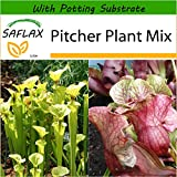 SAFLAX - Pitcher Plant Mix - 10 seeds - With soil - Sarracenia flava / S. purpurea - Mix