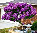 Catawba Crape Myrtle Seeds 50 Seeds (Lagerstroemia) Upc 646263361634 + 1 Free Plant Marker