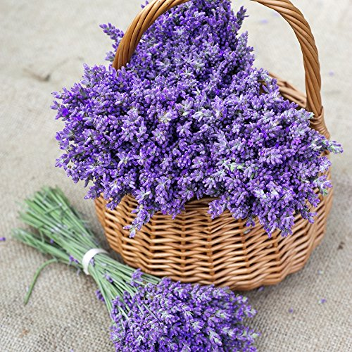 Lavender Seeds - 1/4 Pound, Herb Seeds