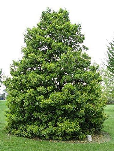 - 500 American Holly Tree Seeds, Ilex Opaca