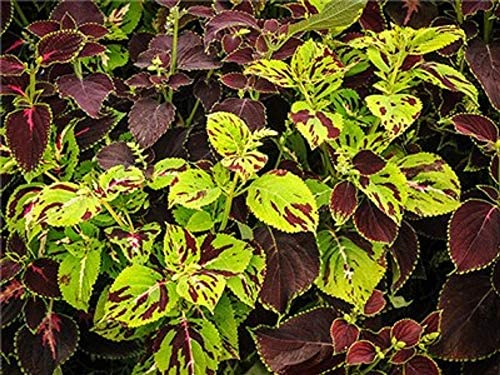 Amazon com : David's Garden Seeds Flower Coleus Rainbow
