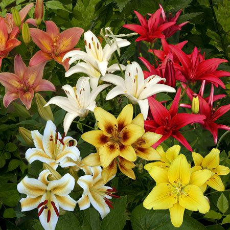 Asiatic Lily Mix -10 Perennial Flower Bulbs - Lily Flower Bulbs