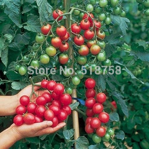 Brend New!!! 100 SEEDS - Fresh (F1 hybrid) SWEET MILLION Tomato Seeds - 100% Organic & NON-GMO fruit vegetables seeds