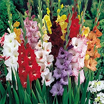 Amazoncom Mixed Gladiolus Flower Bulbs 10 Bulbs Assorted Colors