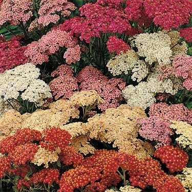 Outsidepride Yarrow Summer Berries - 1000 Seeds