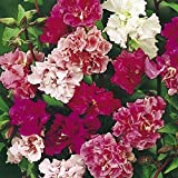 CLARKIA MIX SEEDS - A profusion of elegant double and semi-double flowers!! (25 - Seeds)