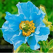 Blue Himalayan Poppies Seeds - 100 Seeds - Meconopsis