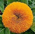 Sunflower Dwarf Teddy Bear 50 seeds HEIRLOOM Cute Garden Flower CombSH J22