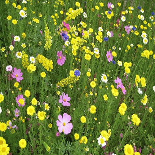 Western Wildflower Seed Mix - 1 Lb