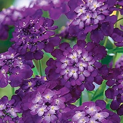 Park Seed Purple Rain Candytuft Seeds : Garden & Outdoor