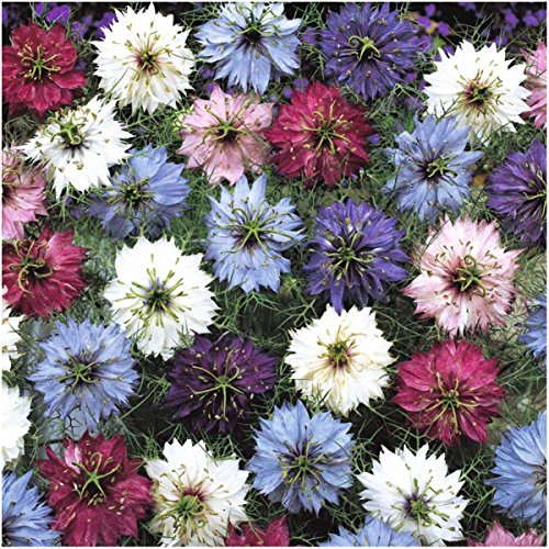 Love Mist - Package of 300 Seeds, Love In A Mist Persian Jewels (Nigella jewels) Non-GMO Seeds By Seed Needs