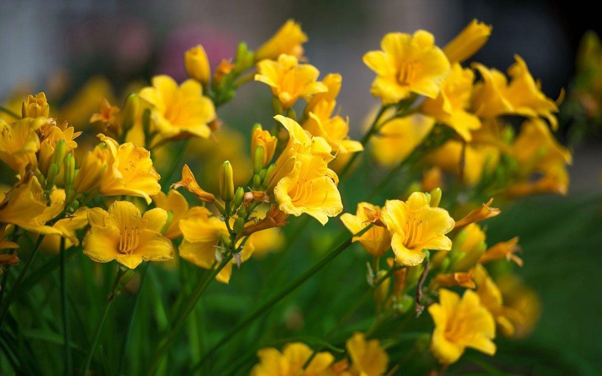 10 bulbos Freesia Single Yellow Freesia Single Yellow 10