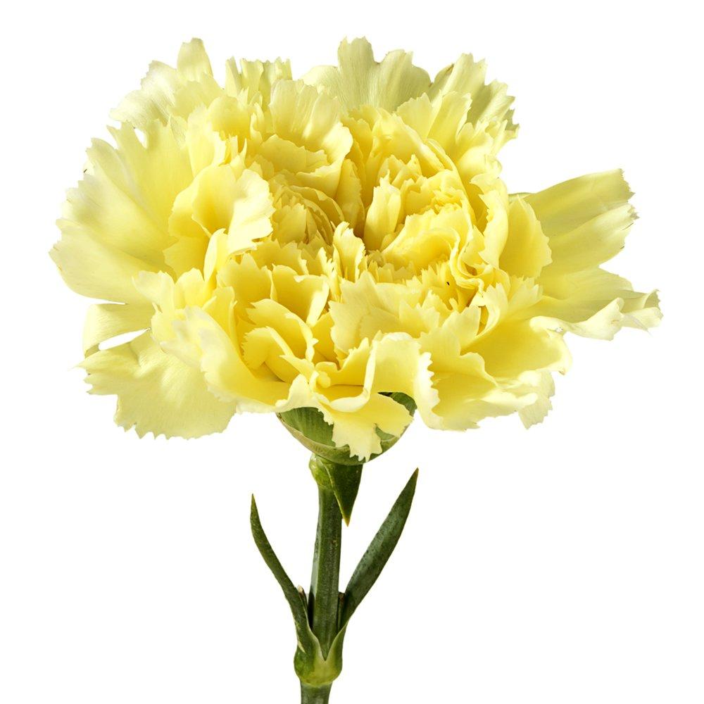 Amazon Wholesale Carnations 300 Yellow Fresh Cut Format