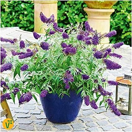 Beautytalk Seeds- Rare Lilac Flower Power Buddleja davidii Multicolored Butterfly shrubs Flower Seed Mixture for Balcony Garden Hardy Perennial