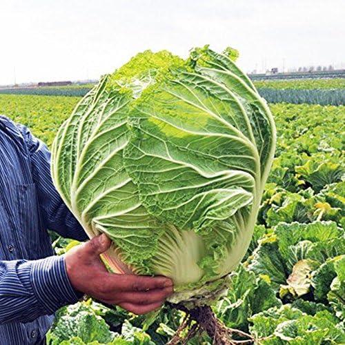 100 semillas / pack Semillas de col china, semillas de hortalizas gigantes fácil de cultivar: Amazon.es: Jardín