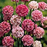 Armeria Maritima Joystick-Lilac Shades,Large Clusters Of Lilac Flower- Perennial(100 Seeds)