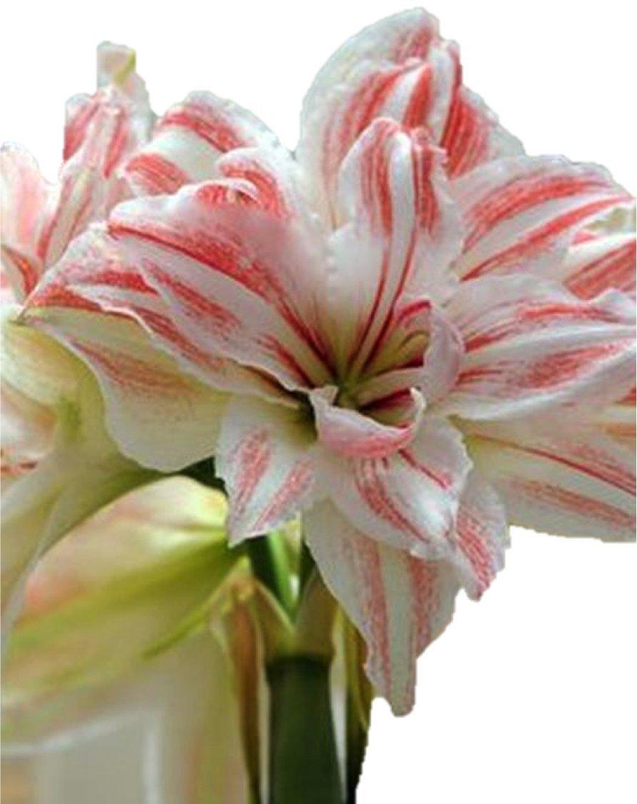 Amaryllis Dancing Queen Bulb Indoor Growing Kit. Gift Set: Premium 30-32 Amaryllis Bulb, Zinc Bucket, Compost & Moss. 8 to 10 Beautiful Blooms Guaranteed. BloominBulbs