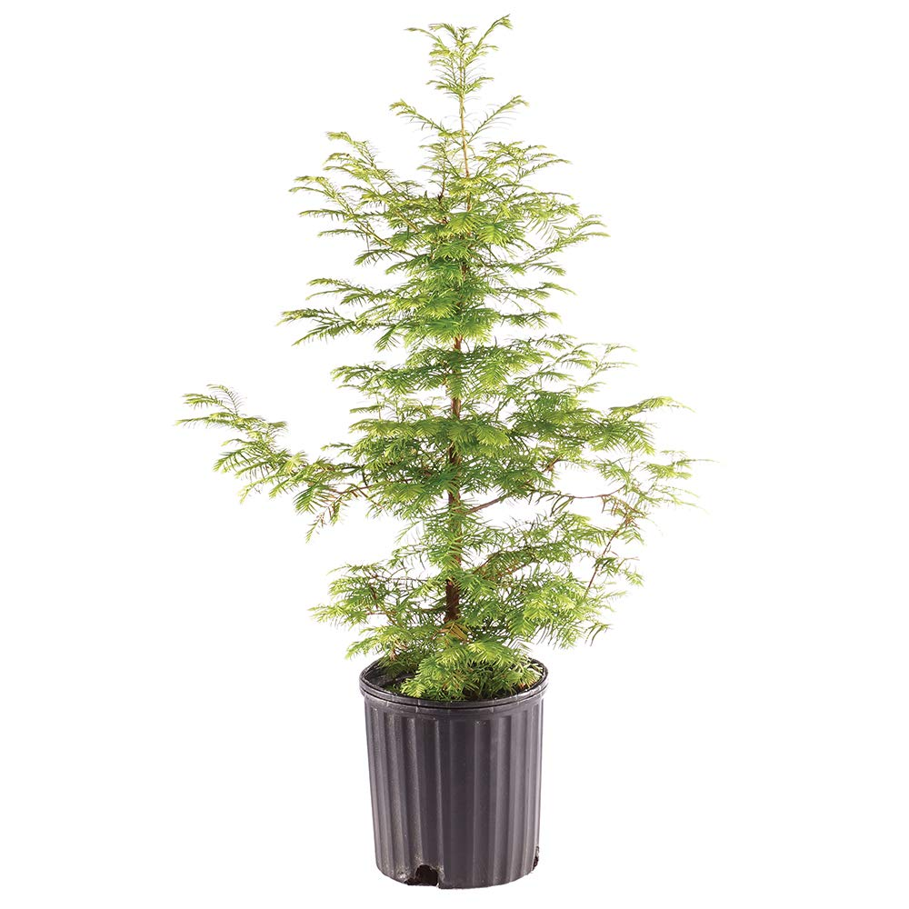 Brussel's Bonsai Live Dawn Redwood Outdoor Bonsai Tree - 5 Years Old 16'' to 20'' Tall with Plastic Grower Pot, X Large, by Brussel's Bonsai (Image #1)