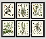 Herbs and Spices Botanical Set of 6 Prints Antique Beautiful Peppermint Lavender Fennel Parsley Rosemary Thyme Home Room Decor Wall Art Unframed KOH