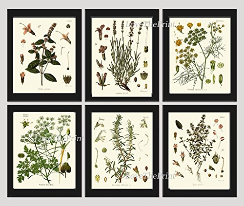 Herbs and Spices Botanical Set of 6 Prints Antique Beautiful Peppermint Lavender Fennel Parsley Rosemary Thyme Home Room Decor Wall Art Unframed (Beautiful French Poster)