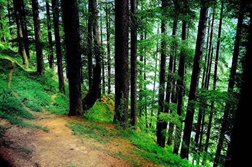 Laminated Poster Pine Forest Background 3 Nature Print