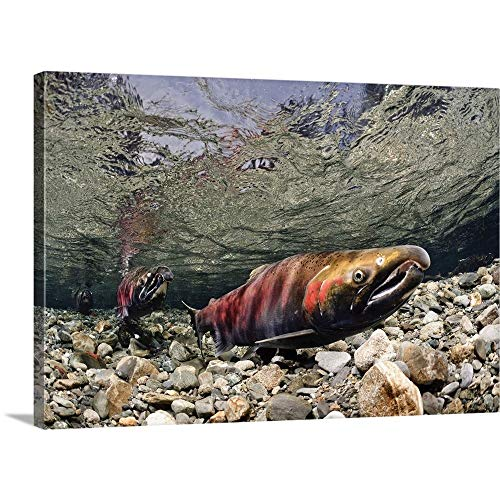 (GREATBIGCANVAS Gallery-Wrapped Canvas Entitled COHO Salmon in Power Creek, Copper River Delta, Prince William Sound, Alaska by Thomas Kline)