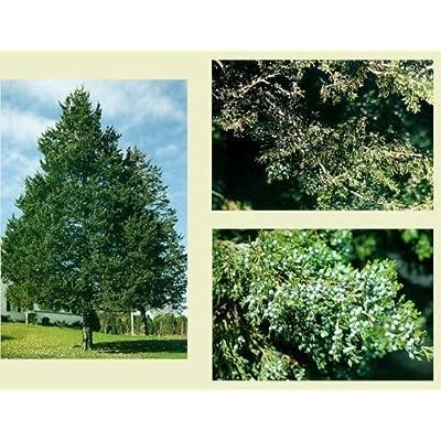 Eastern Red Cedar. 200 seeds. trees, seeds : Garden & Outdoor