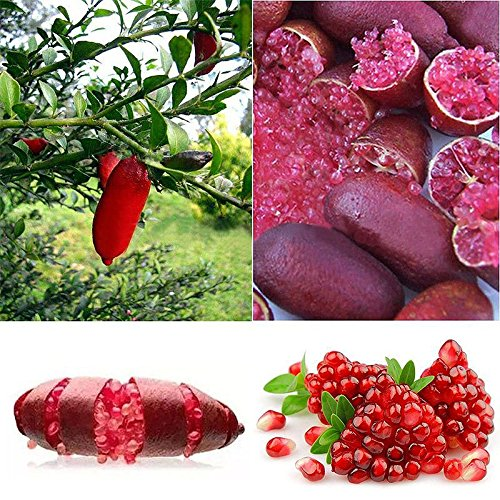 20Pcs Ice Pink Finger Fruit Lime Seed Rare Plant Home Garden Balcony (Lime Shield)