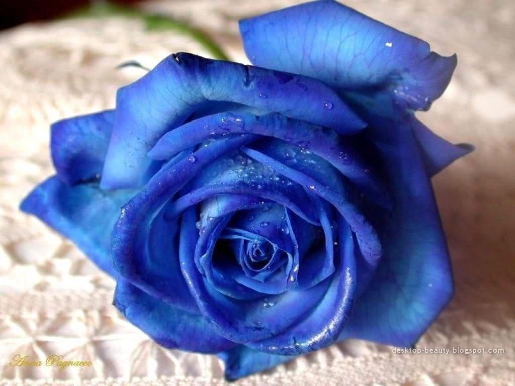 National Gardens Blue Rose Flower Seeds Multicolour Pack Of 10