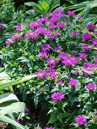 Perennial Farm Marketplace Monarda d. 'Balmy Purple' ((Dwarf Bee Balm) Perennial, Size-#1 Container, Reddish-Purplish Flowers ()