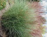 Miscanthus sinensis Morning Light MAIDEN GRASS Seeds!